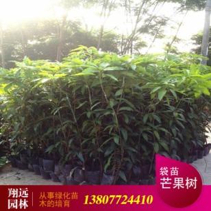 芒果树8至10公分袋苗图片