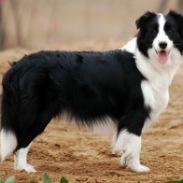 云南纯种CKU血统边境牧羊犬图片