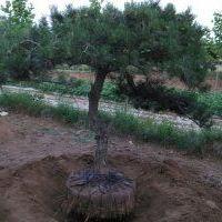 山东种植基地供应造型油松  黑松 造型油松  提供专业保活种植技术 山东造型油松