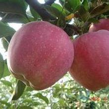 红星果红星苹果价格红星苹果产地