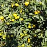 供应宜昌特早柑桔,绿色无公害水果 现货供应贡柑特产水果口感甘甜