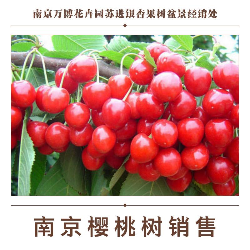 供应南京樱桃树销售 樱桃树树苗报价 樱桃树种植基地 南京樱桃树树苗