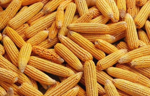 玉米图片/玉米样板图 (1)