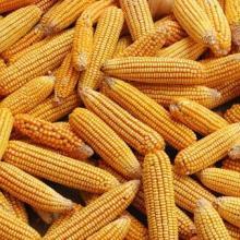 河北石家庄厂家供应玉米批发