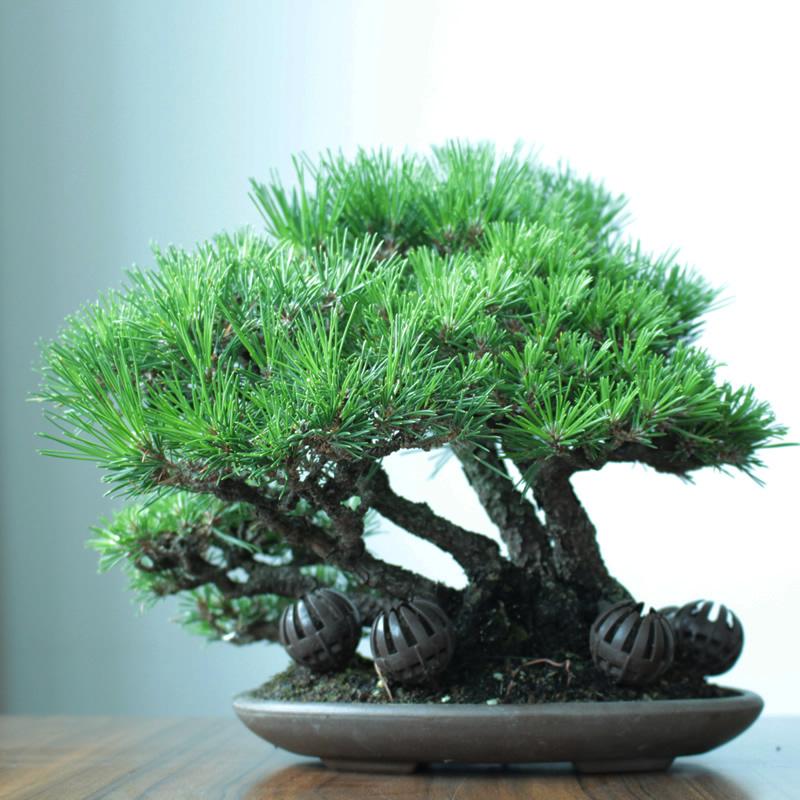 供应精品提根造型黑松盆景树桩盆景一物一拍