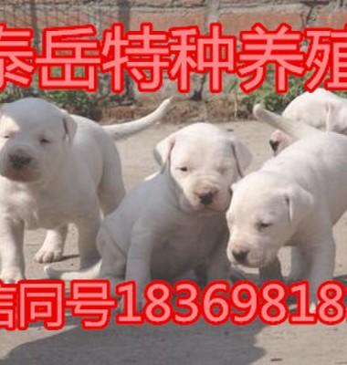 杜高犬图片/杜高犬样板图 (1)