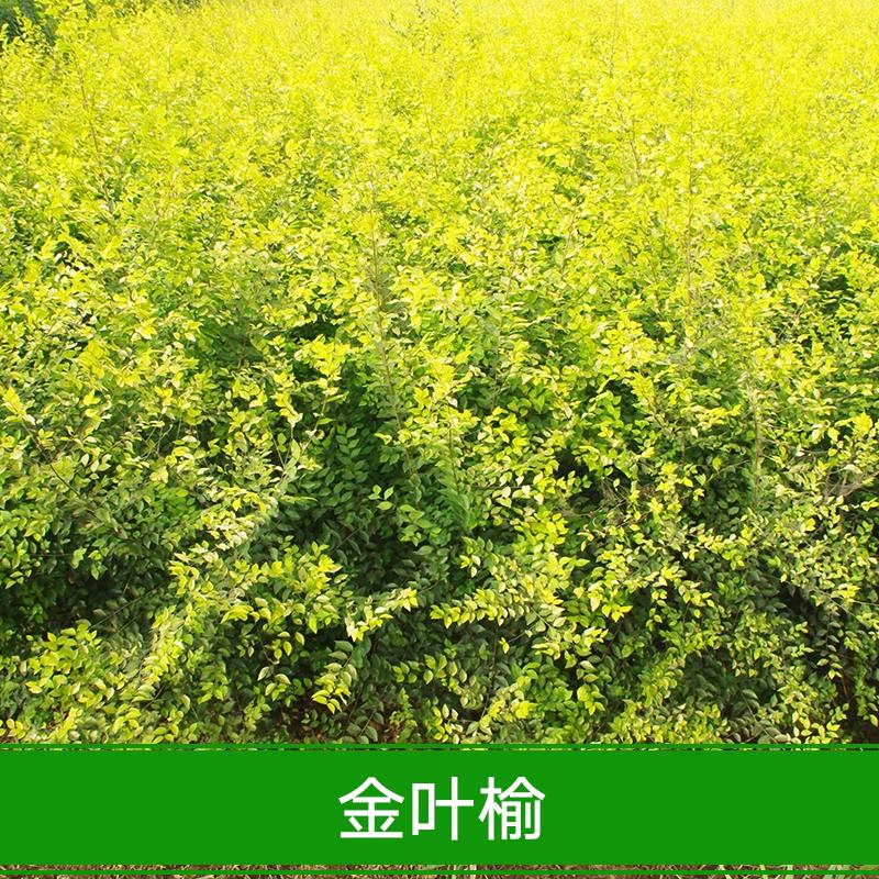 供应金叶榆 批发白榆树种子 金叶榆树种子 美人榆种子