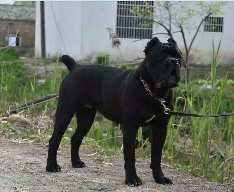 血统马犬、贵州马犬的价格、哪里有卖马犬、马犬成犬多少钱
