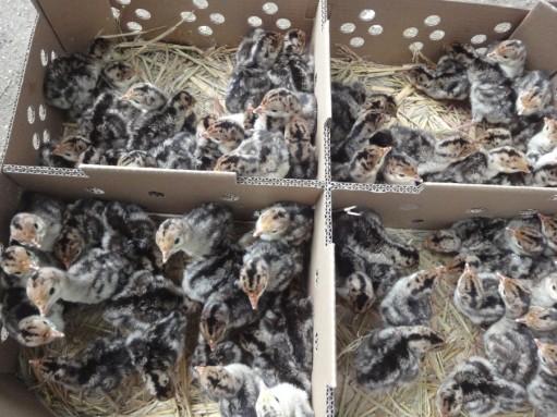 中型花色羽毛纯种青铜火鸡苗已做马力克防疫