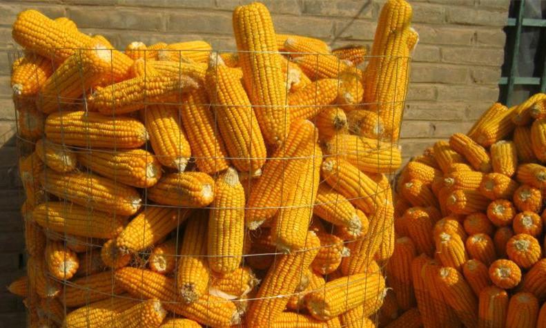 圈玉米网 玉米网 荷兰网玉米网 热镀锌网玉米网 圈玉米钢板网