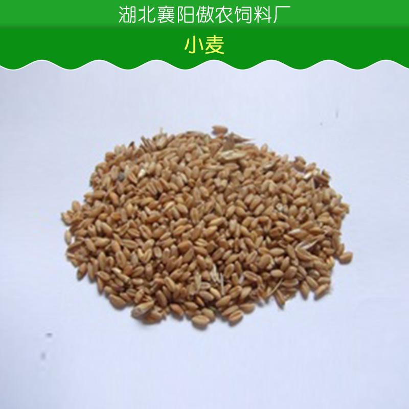 小麦图片/小麦样板图 (4)
