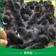 广州黑鸡苗图片