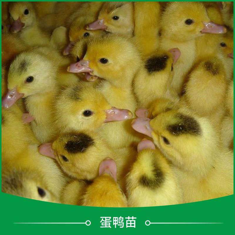 广州蛋鸭苗公司-蛋鸭苗养殖基地