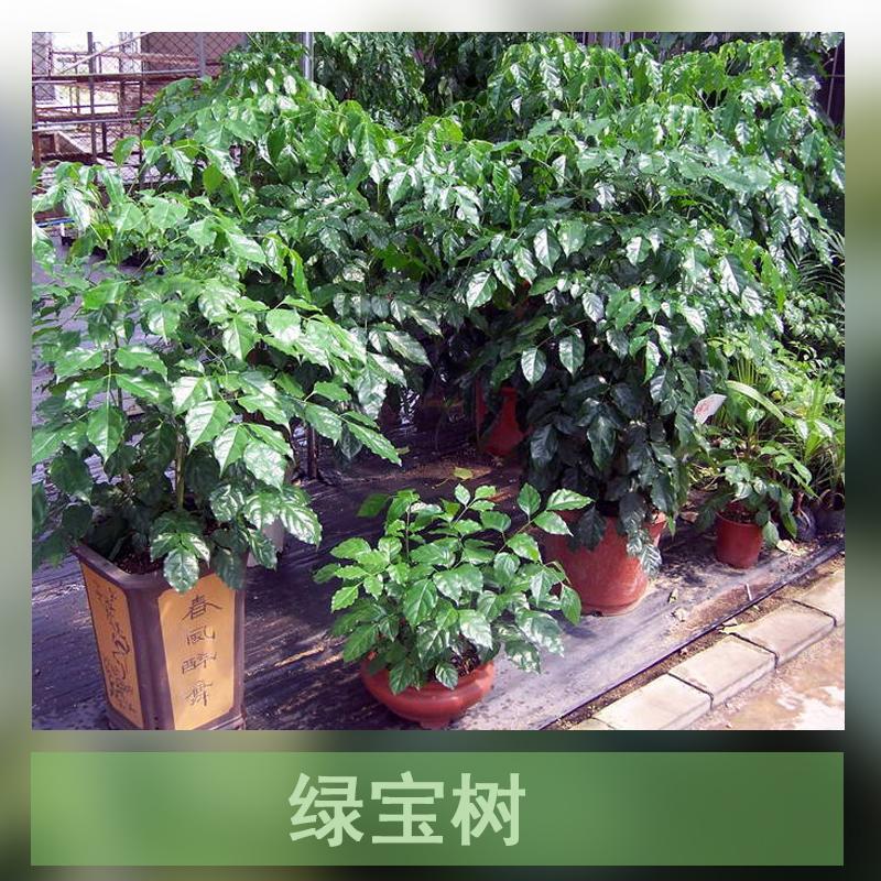 绿宝树 绿宝平安树 绿宝树盆栽