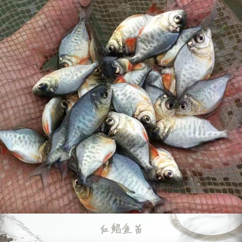 广州红鲳鱼苗 红鲳鱼苗价格 鱼苗养殖基地 红鲳鱼苗批发 淡水白鲳苗 淡水鲳鱼苗