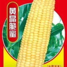 黄色水果玉米种子批发