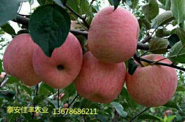 苹果苗 寒富苹果苗 红富士 烟富0号 烟富8号