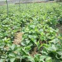草莓,红颜草莓苗批发,樟姬草莓苗种植