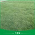 台湾草草皮图片