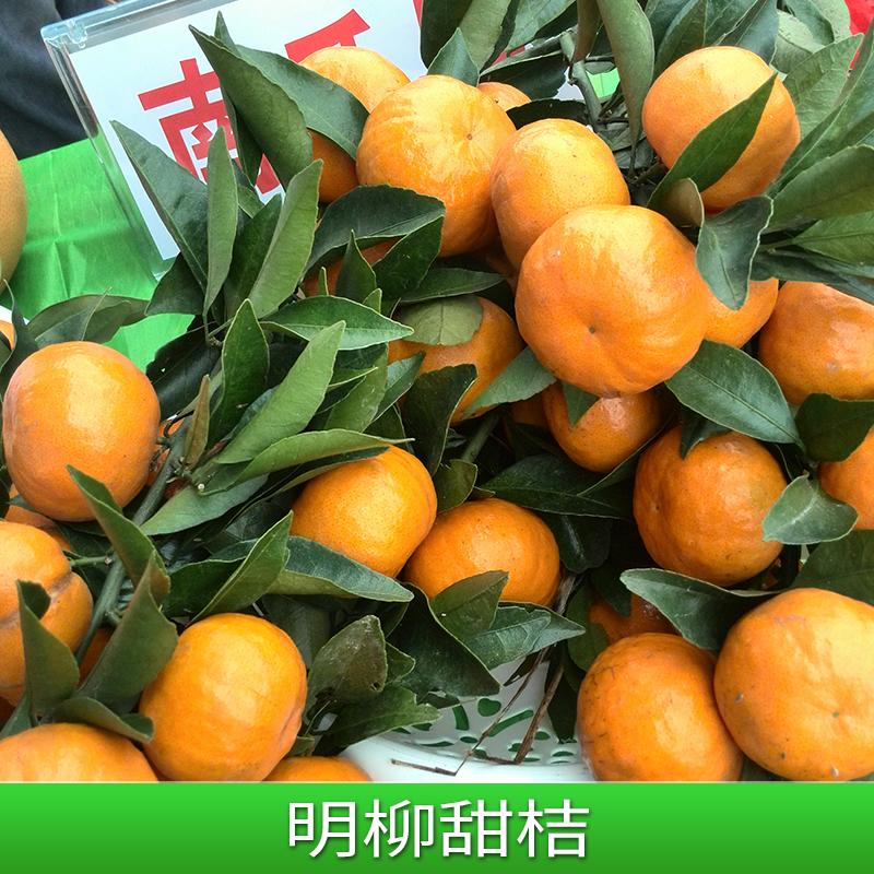 广西明柳甜桔—明柳甜桔果苗批发基地—特色品种明柳甜桔价格
