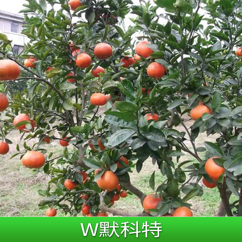 w默科特 果苗 W.默科特果苗 广西柳城大量批发供应果苗