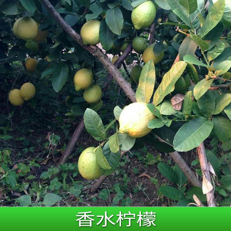 香水柠檬 台湾无籽香水柠檬苗 尤力克柠檬树苗基地