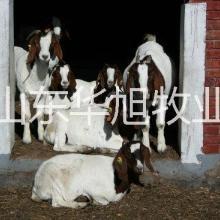 供应陕西榆林波尔山羊价格,波尔山羊的利润分析,波尔山羊的养殖基地纯种波尔山羊哪里有批发