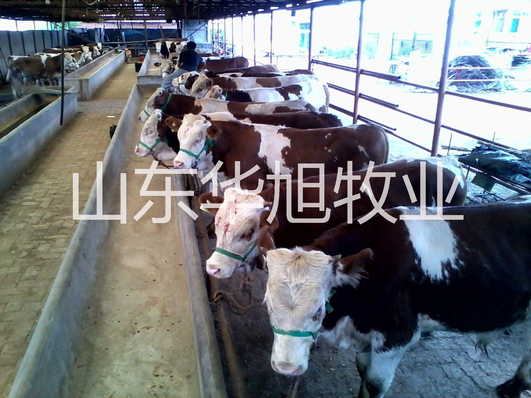 供应呼和浩特鲁西黄牛种牛基地,种牛的饲养与方法,种牛的疾病预防