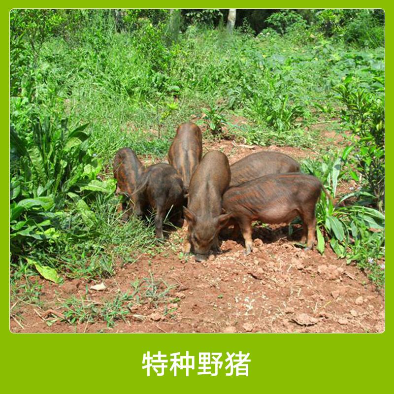 特种养殖野猪 纯种驯化杂交野猪 安徽肉用野猪养殖 特种野猪种苗