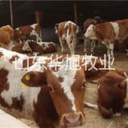 广州畜牧养殖基地纯种西门塔尔牛图片