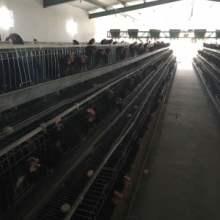 新疆和田土鸡,和田尼雅黑鸡养殖基地,新疆和田黑土鸡鸡苗