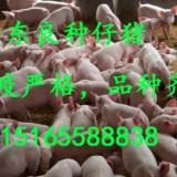 仔猪 山东良种仔猪 10-60公斤仔猪 二元三元猪仔苗 大白 大约克 杜洛克 双肌臀 长白苗猪