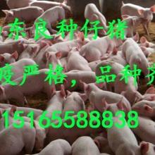 仔猪 山东良种仔猪 10-60公斤仔猪 二元三元猪仔苗 大白|大约克|杜洛克|双肌臀|长白苗猪批发