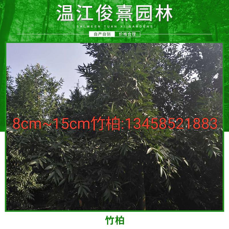 安徽竹柏苗批发,安徽竹柏种植基地,安徽苗木竹柏价格