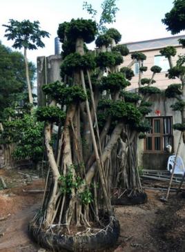 厂家供应桩头榕树,造型桩头小叶榕,榕树盆景,绿化造型榕树
