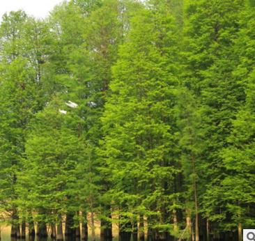厂家供应优质水杉 水杉树苗 水杉苗 各种规格水杉树批发
