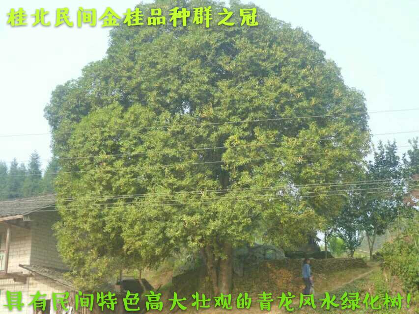桂北民间特色高大壮观的金桂花 桂花