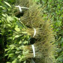 油橄榄下床苗