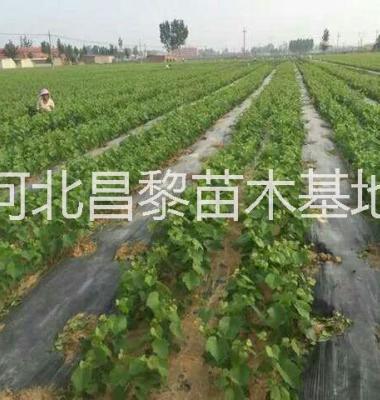 北京樱桃苗图片/北京樱桃苗样板图 (4)