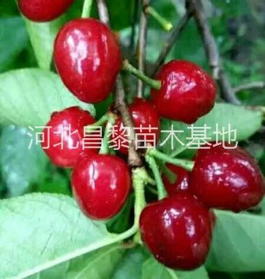 北京樱桃苗图片/北京樱桃苗样板图 (1)