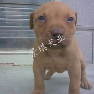 比特犬 大体比特犬 纯种比特犬图片