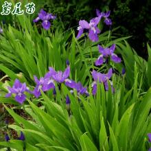 盆栽球根花卉水生水培植物 德国进口鸢尾花种球 鸢尾花苗大种球图片