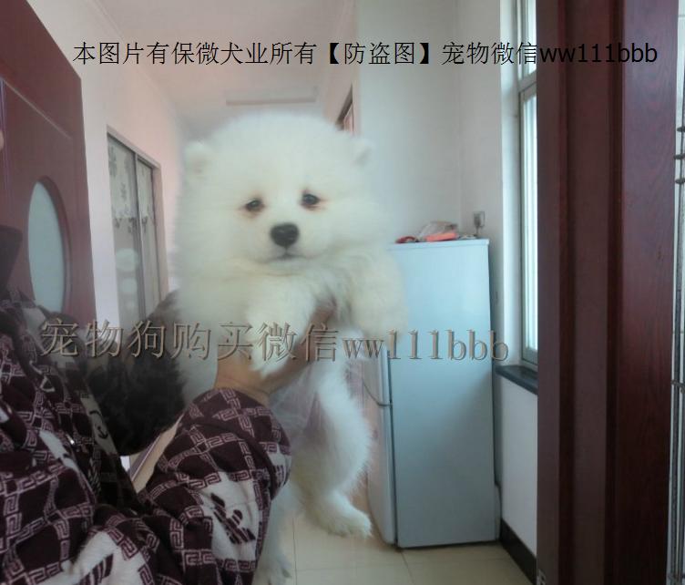 萨摩耶 萨摩耶出售 宠物狗狗 犬舍直销一精品萨摩耶一签协议