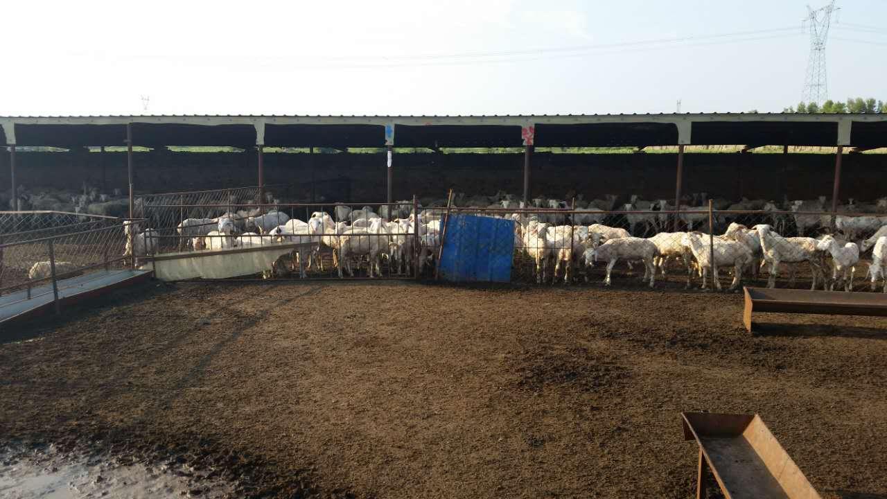 通榆县小尾寒羊价格  小尾寒羊销售