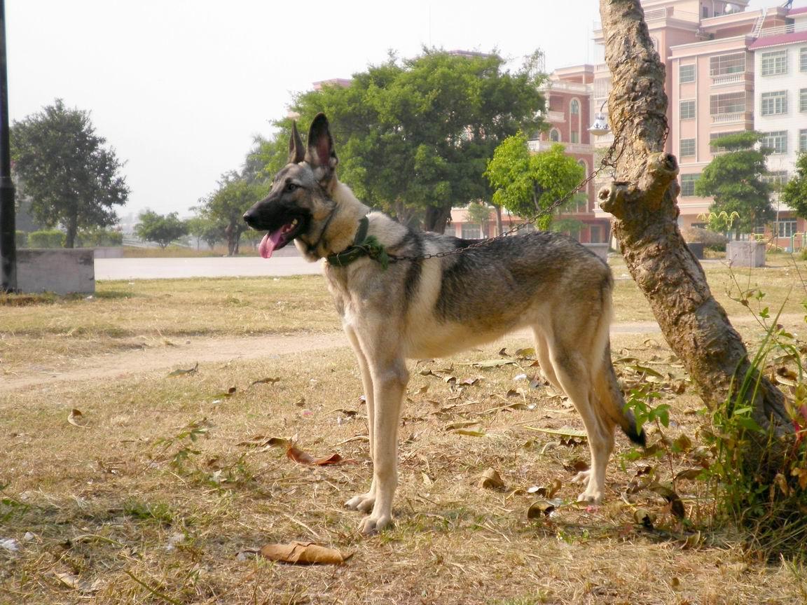 狼青图片,纯小狼青多少钱,狼青价格,狼青如何训练,狼青驯养基地