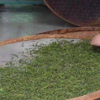 正宗潮州老丛单枞茶,白叶茶