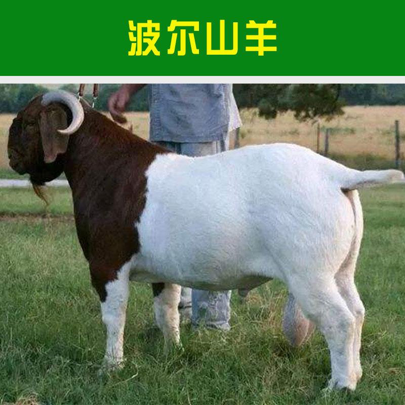 嘉祥盛泰养殖场供应波尔山羊 养殖牲畜优质肉用山羊品种山羊羊羔