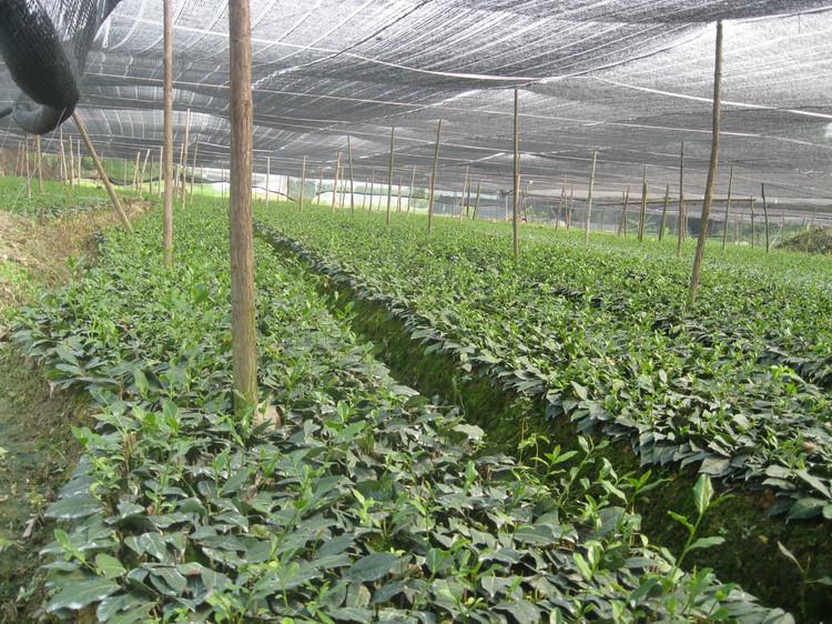 铁观音茶苗供应商、铁观音茶苗产地、供应铁观音茶苗、