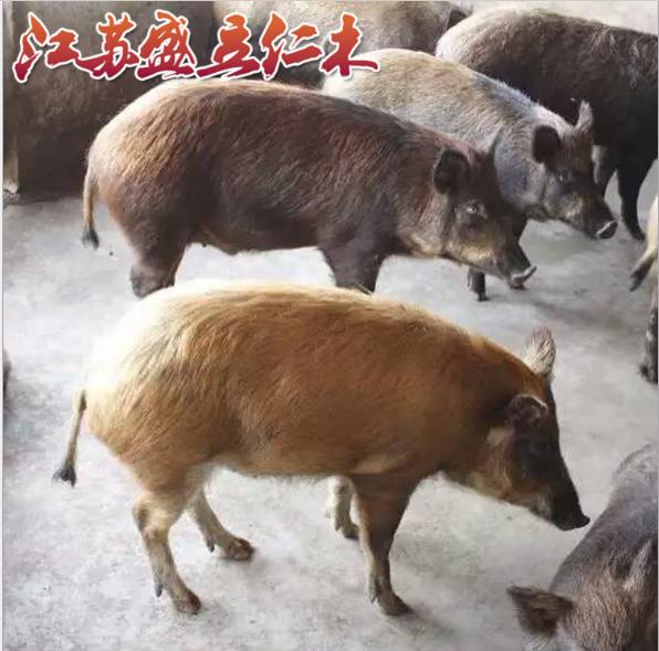 野猪养殖 生态养殖野猪肉质鲜美 营养高 优良野猪种苗母猪批发