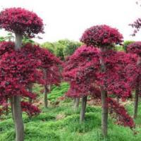浙江红花继木桩批发、红花继木桩供应商、红花继木桩生产出售